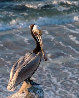 California brown pelican precariously standing atop a rocky outcrop