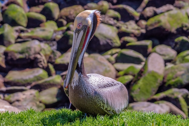 California brown pelican sitting upon ice plants