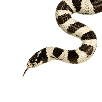 California kingsnake - lampropeltis getulus californiae in front on a white isolated
