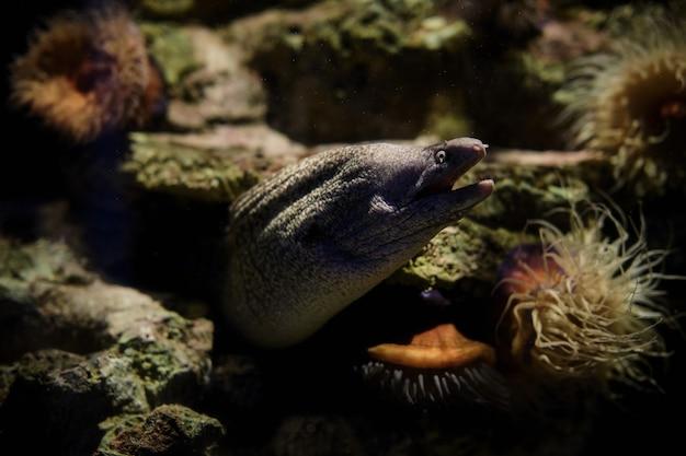 수중 수족관에서 캘리포니아 moray