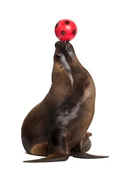 Калифорнийский морской лев, 17 лет, играет с мячом на белой поверхности