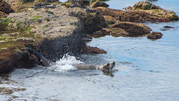 California sea lion plunges into the pacific from a rocky ledge