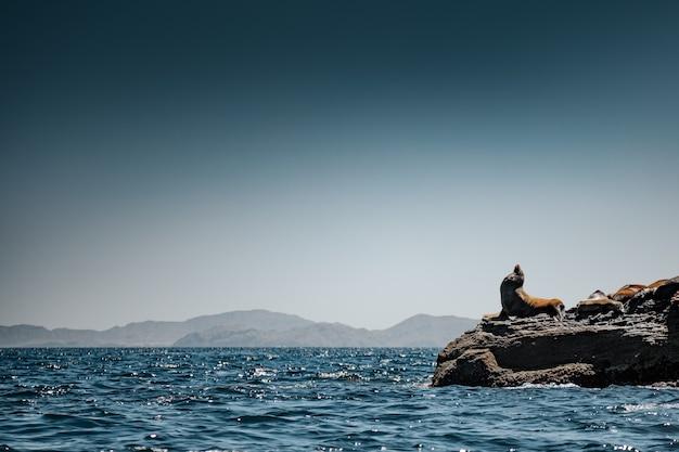 コロナド島の岩の上にいるカリフォルニアアシカ。バハカリフォルニア、カリフォルニア湾。