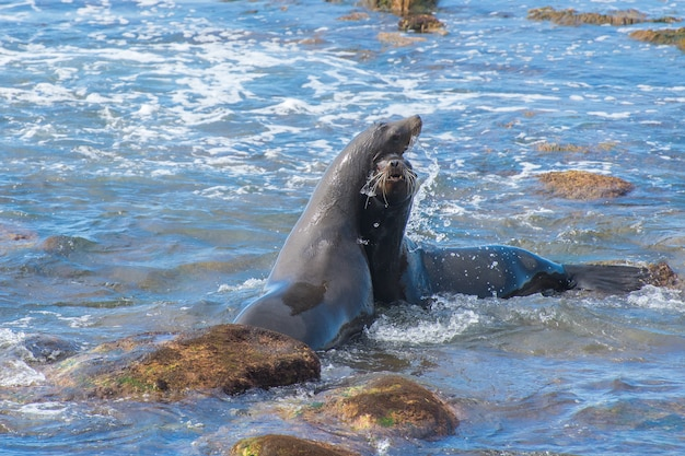 Калифорнийские морские львы в территориальном споре