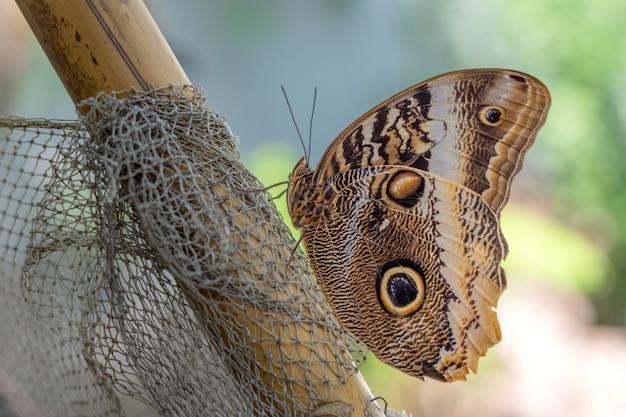 Caligo eurilochus 또는 숲의 거대한 올빼미 나비 날개 패턴