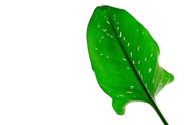 Calla leaf. ð¡alla lily leaf isolaed on a white. herbarium series.