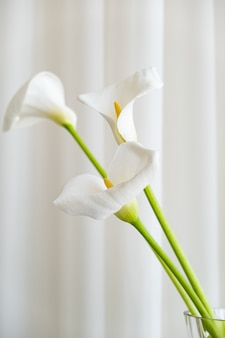 Calla lily plant flowers on a white fabric background.
