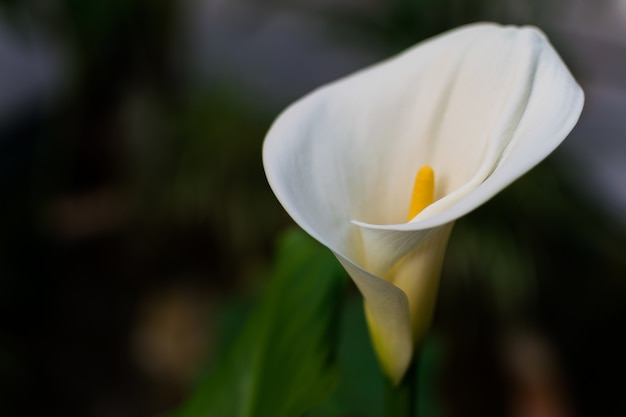 Calla lily surrounded by greenery in a field under the sunlight