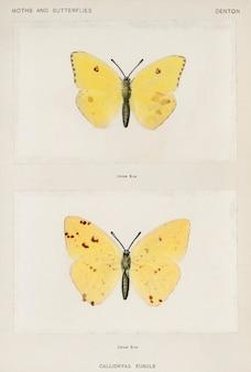 米国の蛾と蝶からの曇りのない硫黄(callidryas eubule)