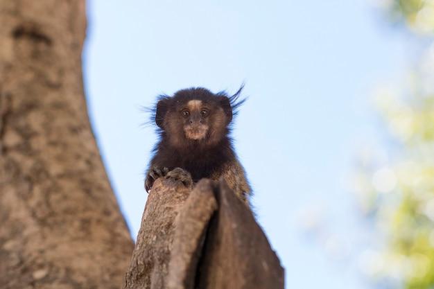Каллитрикс - очень распространенный вид мартышек в бразилии, названный «сагуи». атлантический лес биом.