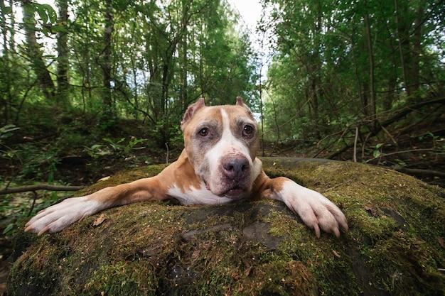 Спокойный американский стаффордширский терьер, лежащий на шине в лесу
