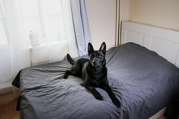 Спокойная большая черная собака отдыхает на кровати солнечным утром дома с любопытством смотрит в камеру