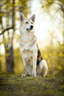 Спокойная большая собака, сидящая на лугу в лесу