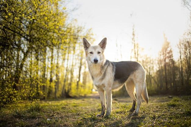 Спокойная большая собака, стоящая на лугу в лесу