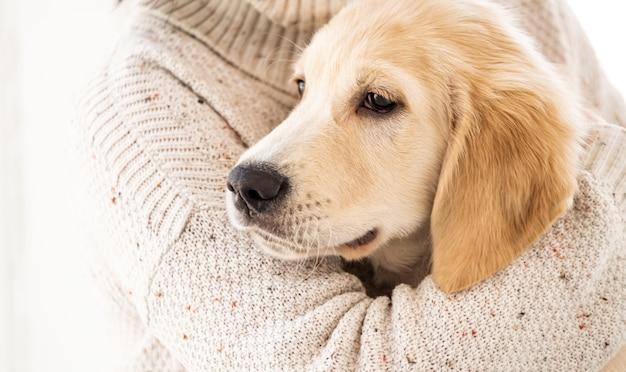 Спокойная собака золотистого ретривера
