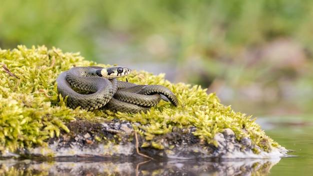 물 근처의 녹색 이끼로 덮인 돌에 뒤틀린 잔잔한 풀 뱀