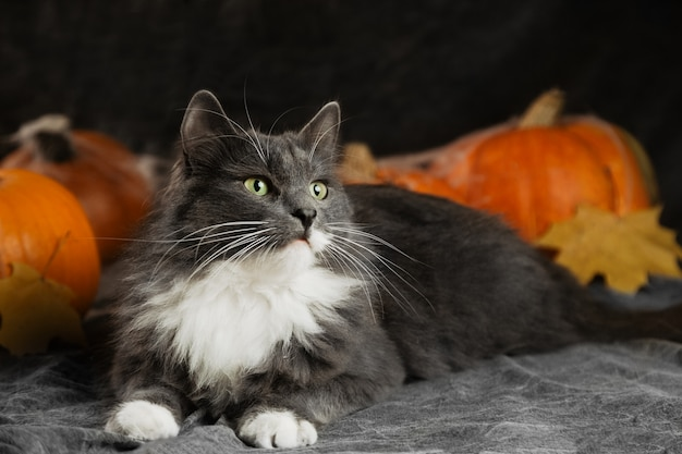 Calm grey cat lying on couch with pumpkins, halloween concept background