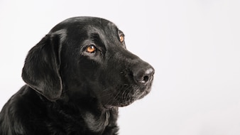 Calm labrador on white background