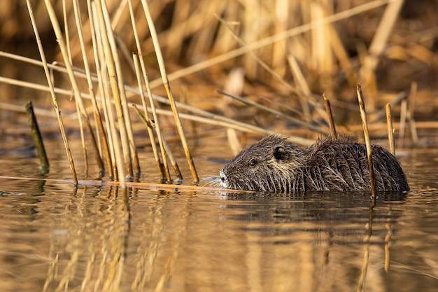 Calm nutria swimming in marsh in summer nature.