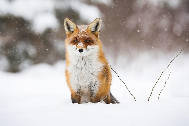 Спокойная рыжая лисица сидит на снегу зимой