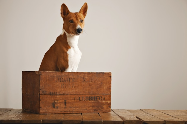 Calm relaxed basenji dog sitting quietly in a beautiful vintage wine box against white wall background