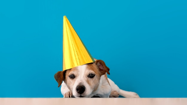 Calm small jack russell terrier dog in funny party hat