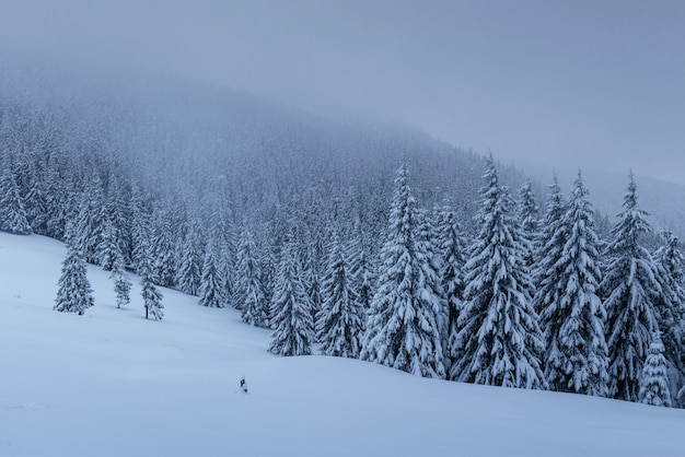 A calm winter scene. firs covered with snow stand in a fog.