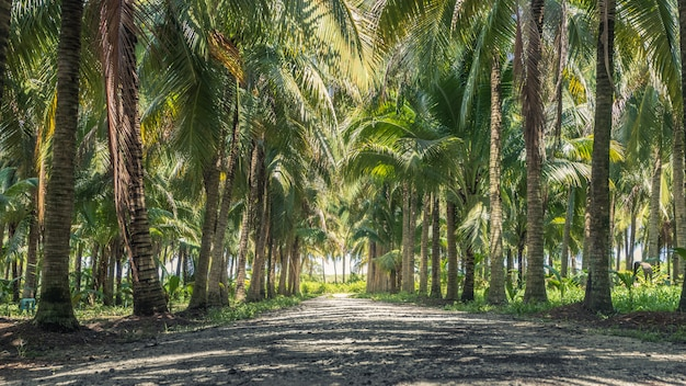 Спокойствие и тенистая зелень кокосовой рощи с естественным солнечным светом