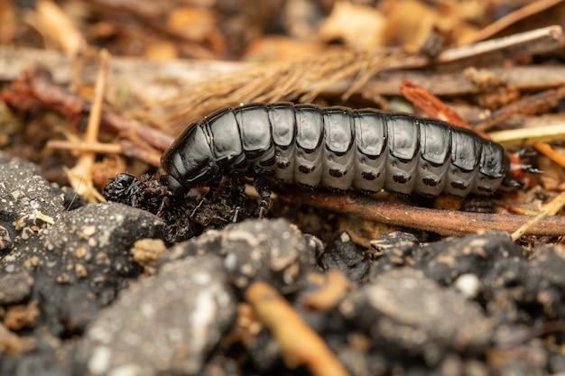 Calosoma sycophanta или охотник на лесных гусениц - жужелица, принадлежащая к семейству carabidae