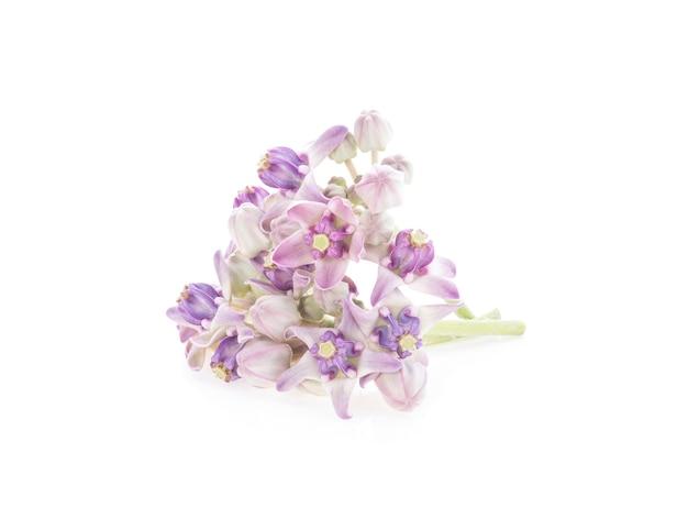 Calotropis giantea 꽃 흰색 절연