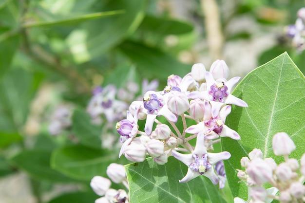 Calotropis花、クラウン花、星花。