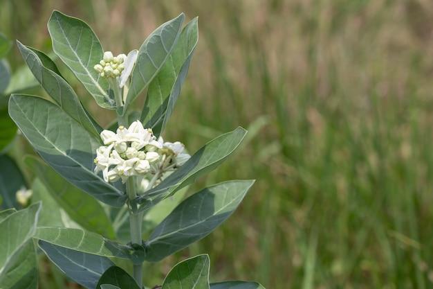 Calotropisの花