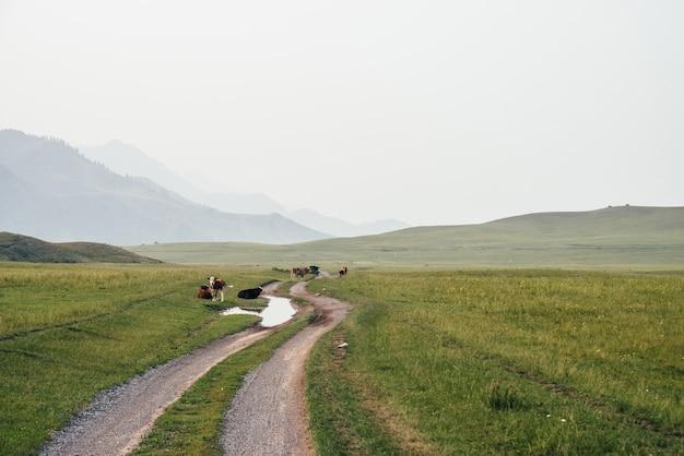 Телята и коровы, пасущиеся возле лужи на грунтовой дороге в горной местности. живописный зеленый горный пейзаж с сельскохозяйственными животными в зеленом поле. красивые пейзажи горных пастбищ с телятами и коровами.