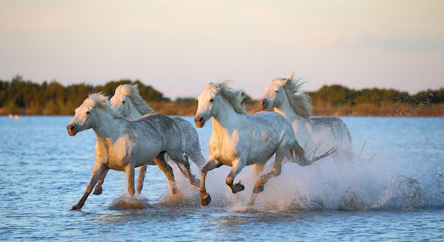 Camargue horses are running beautifully along the water in the lagoon