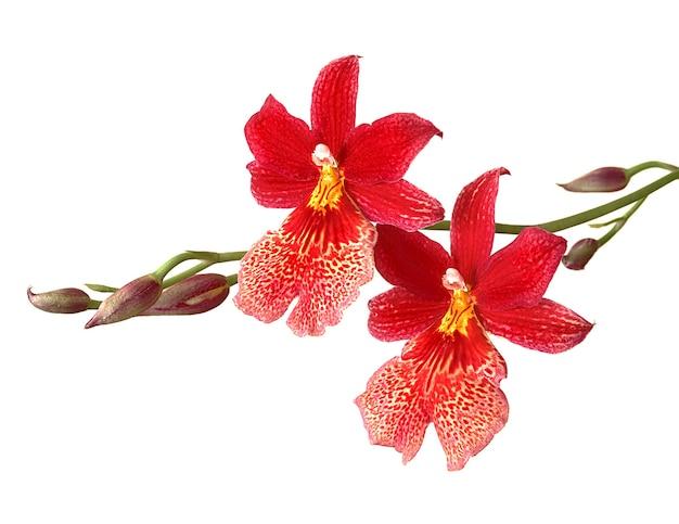 Cambria. 빨간색과 흰색 꽃 난초 흰색 절연