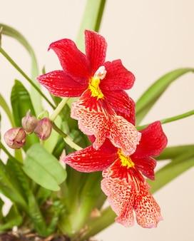 Cambria. 빨간색과 흰색 꽃 난초