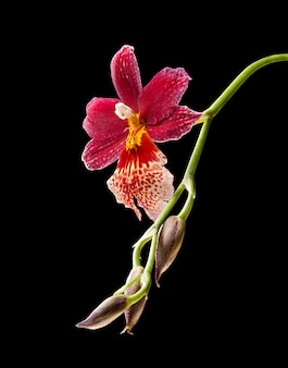 Cambria. red and white flower orchid on black