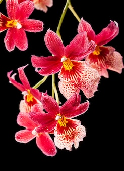 Cambria. red and white flower orchid