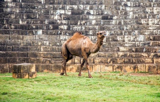 Верблюд животное гуляет по оазису в зоопарке