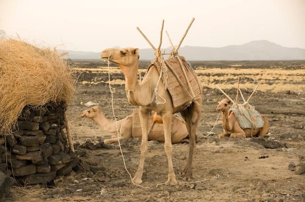 夕方のラクダエチオピアアファールうつ病エルタアレ火山エチオピアアフリカ