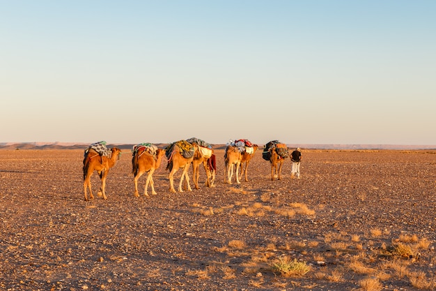 Camel caravan on the desert