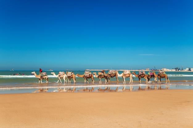 Camel caravan goes along the shore of the atlantic ocean.