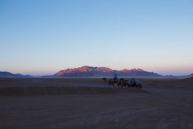 Караван верблюдов идет через пустыню египта