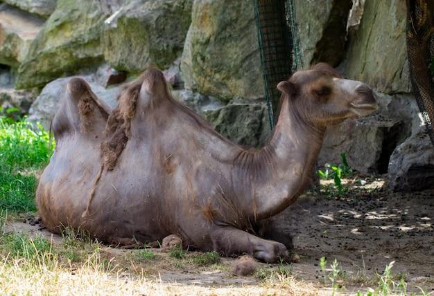 ラクダは動物園でクローズアップ。晴れた夏の日。