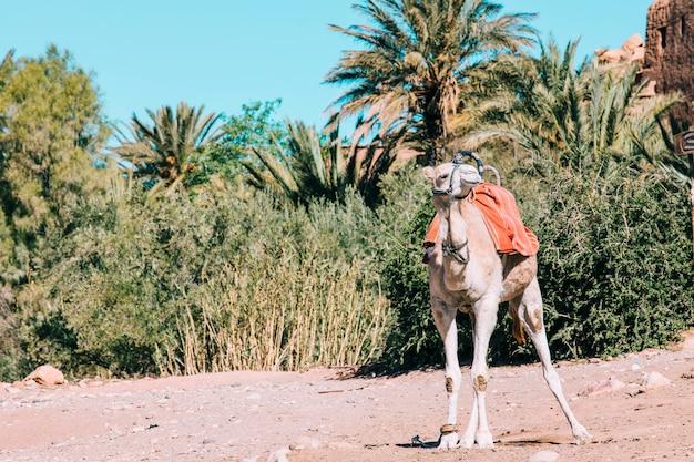 Camel in desert landscape in morocco
