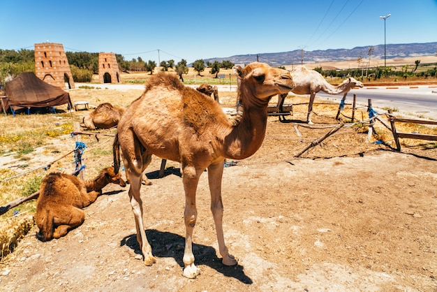 Camel and dromedary in mequinenza, near fez, morocco.