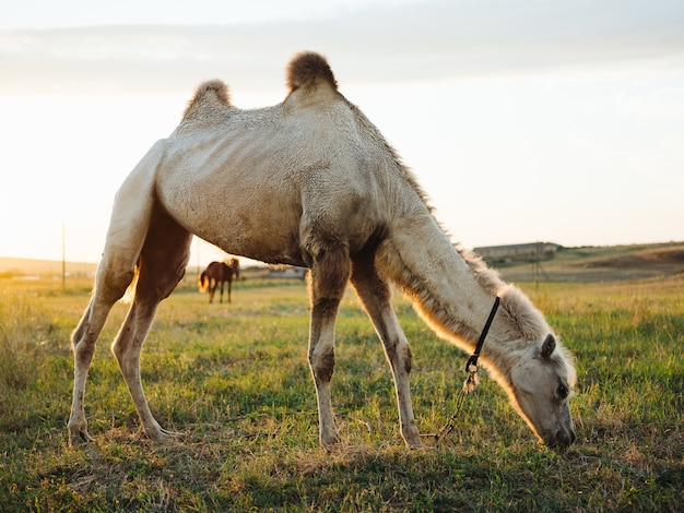 The camel eats grass on the nature of the field and the sun is fresh air