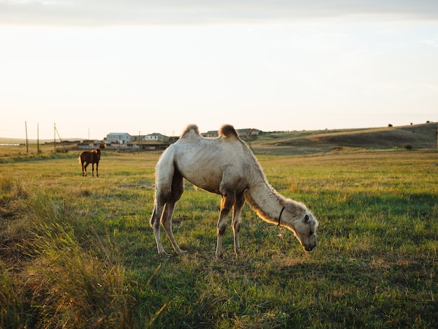 The camel eats grass on the nature of the field and the sun is fresh air.