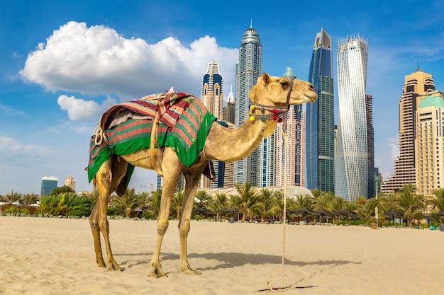 Camel in front of dubai marina, united arab emirates