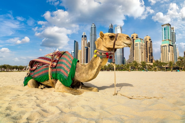 Camel in front of dubai marina